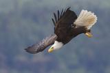 Bald Eagle in Flight Fotografie-Druck von Ken Archer