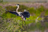 Florida, Venice, Great Blue Heron, Braking for Landing Photographic Print by Bernard Friel