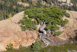 Wa, Alpine Lakes Wilderness, Twisted Fir Tree, Near Mount Stuart Photographic Print by Jamie And Judy Wild