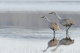 Sandhill Crane Pair Preparing to Take Flight Photographic Print by Ken Archer