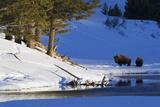 Bison Bulls, Winter Landscape Photographic Print by Ken Archer