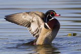 Wood Duck Drake Drying Wings Photographic Print by Ken Archer