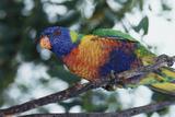 Australia, Eastern States of Australia, Close Up of Rainbow Lorikeet Reproduction photographique par Peter Skinner