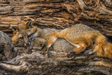 Minnesota, Sandstone, Minnesota Wildlife Connection. Grey Fox and Kit Photographic Print by Rona Schwarz