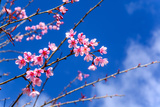 Cherry Blossom or Sakura Flowers with Blue Sky Photographic Print by  KitzCorner