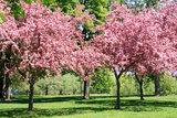 Blooming Cherry Garden. Photographic Print by  alextheshutterbug