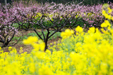 Pink Peach Flowers with Yellow Oilseed Rape Blossom. Photographic Print by  hanhanpeggy