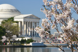 Spring in Washington DC - Cherry Blossom Festival at Jefferson Memorial Posters by  Orhan