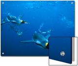 King Penguin (Aptenodytes Patagonicus), Macquarie Island, Sub-Antarctica Australia Prints by Tui De Roy/Minden Pictures