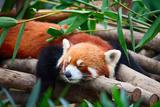 Red Panda (Firefox) Photographic Print by  swisshippo