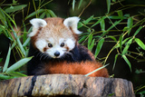 Red Panda Photographic Print by  _jure