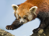 Red Panda Photographic Print by  stanzi11