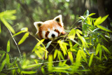 Red Panda Photographic Print by Igor Mojzes