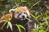 Liitle Small Cute Red Panda Eating Bamboo Photographic Print by  didesign