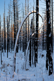 Burned Trunk Bending to Earth Photographic Print by Latitude 59 LLP