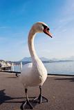 Swan by Lake Lucerne Impressão fotográfica por  benkrut