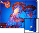 Fleet of Golden, Long-Tentacled Jellyfish, California Prints by Sisse Brimberg