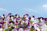 Viola or Pansy Flowers and Sky Photographic Print by  flycatdesign