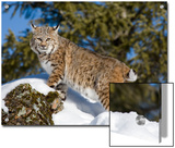 Bobcat (Lynx Rufus) in the Snow, Kalispell, Montana Posters by Matthias Breiter/Minden Pictures