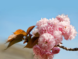 Beautiful Cherry Tree Flowers, Pink Bloom, Spring Flowers Background, Spring Cherry Blossoms Photographic Print by  Artnature