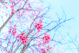 Wild Himalayan Cherry Spring Blossom Photographic Print by  wittybear