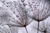 Dandelion Seeds Photographic Print by Anette Linnea Rasmus