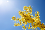 Yellow Flowers of Forsythia against the Blue Sky Photographic Print by  irishasel
