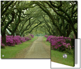 A Beautiful Driveway Lined with Trees and Purple Flowering Bushes Posters by Sam Abell