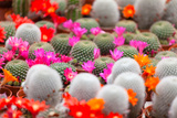 Different Blossoming Cactuses on a Show-Window of Flowers Shop Photographic Print by Shchipkova Elena