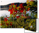Scarlet Sumac Branches Along the Shores of Hematite Lake Posters by Raymond Gehman