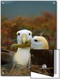 Waved Albatross (Diomedea Irrorata), Punta Cevallos, Espanola Island, Galapagos Islands, Ecuador Poster by Tui De Roy/Minden Pictures