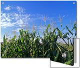 Field of Corn against a Clear Blue Sky, Virginia Posters by Kenneth Garrett