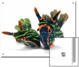 A pair of toxic Nembrotha kubaryana nudibranchs Art by David Doubilet