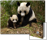 Giant Panda (Ailuropoda Melanoleuca) Adult, Wolong Nature Reserve, China Prints by Katherine Feng