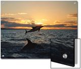 Dusky Dolphins Prints by Bill Curtsinger