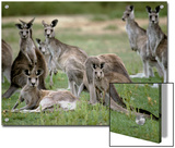 Alert Mob of Eastern Grey Kangaroos Standing and Lying Down, Australia Posters by Jason Edwards