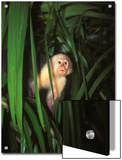 White Face Monkey, Cebus Capucinus in Tree, Costa Rica Prints by James Forte