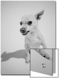 Chihuahua Dog Snarling Prints by Peter Krogh
