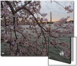 Cherry Blossoms at the Tidal Basin in Washington D.C Prints by Karen Kasmauski