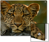 Portrait of a Leopard, Panthera Pardus, Resting, Mombo, Okavango Delta, Botswana Posters by Beverly Joubert