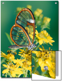 Glasswing Butterfly (Pteronymia Sp) of the Family Ithomiinae, Asteraceae, Cloud Forest, Costa Rica Prints by Michael and Patricia Fogden/Minden Pictures