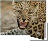 Female Leopard, Panthera Pardus, Snarling, Mombo, Okavango Delta, Botswana Prints by Beverly Joubert