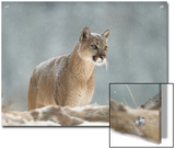 Mountain Lion or Cougar (Felis Concolor) Standing in Snow Bank, Montana Prints by Tim Fitzharris/Minden Pictures