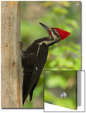 Pileatd Woodpecker Scales a Pine Tree Trunk Prints by George Grall