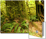Closeup of a Tree Trunk and Ferns in a Rainforest, Washington Prints by Tim Laman