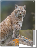 Bobcat (Lynx Rufus) Mother and Kitten, North America Prints by Tim Fitzharris/Minden Pictures