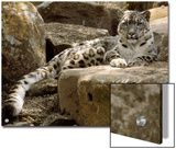 The Watchful Stare of a Snow Leopard Belies its Relaxed Appearance, Melbourne Zoo, Australia Prints by Jason Edwards