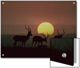 Impala (Aepyceros Melampus) Bucks at Sunset, Kenya (Digital Composite) Art by Tim Fitzharris/Minden Pictures