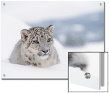 Snow Leopard (Uncia Uncia) Adult Portrait in Snow, Endangered Posters by Tim Fitzharris/Minden Pictures
