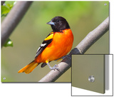 A Baltimore Oriole, Ictarus Galbula, Perched on a Tree Branch Prints by George Grall